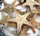 Seestern echtes Naturprodukt Weiß Dekoartikel 10cm - 15 cm groß - Einzelstücke